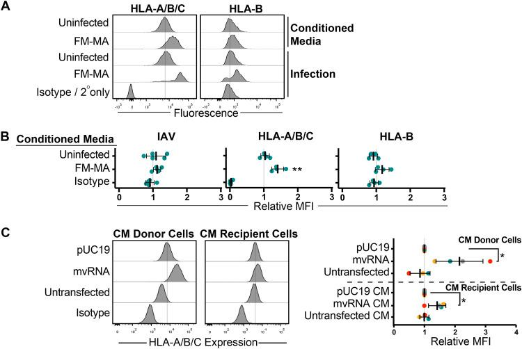 Defective IAV RNAs elicit cell-intrinsic and paracrine upregulation of class I HLA proteins. (A) A549 cells were treated with conditioned medium containing UV-inactivated culture supernatant from FM-MA-infected cells. Surface HLA levels on recipient cells (17 h posttreatment) and infected donor cells (17 hpi) were determined by flow cytometry. Histograms from a representative experiment are shown. Vertical dashed-lines indicate the expression level in uninfected cells. (B) MFI of cell surface HLA proteins on recipient cells from A relative to cells treated with conditioned media from mock-infected cells. Each data point represents an independent experiment. (C) A549 cells were treated with conditioned medium from cells transfected with IAV minireplicon expressing defective vRNAs from genome segment 5 or from control untransfected cells or pUC19 vector-transfected cells. After 24 h, cells were fixed and immunostained with a pan-anti-HLA-A/B/C antibody ( n = 3). Histograms from a representative experiment are shown on the left; vertical lines indicate the expression level of targets in uninfected cells. On the right, relative MFI values from at least 3 independent experiments are shown (*, P