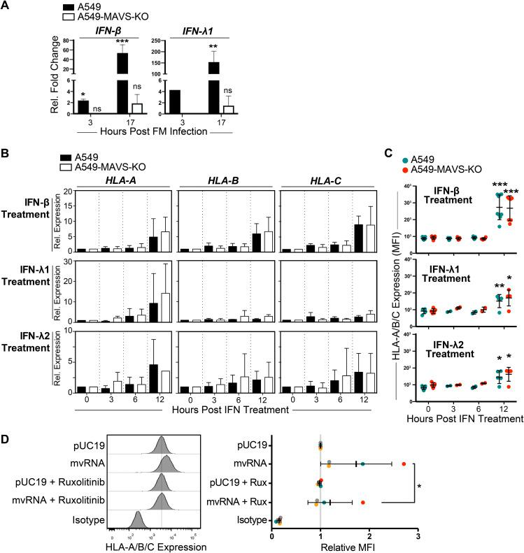 HLA upregulation in response to defective IAV RNAs is dependent on IFN signaling. (A) A549 cells or A549-MAVS-KO cells were infected with FM-MA for 17 h, and relative levels of IFN-β and IFN-λ1 transcripts compared with uninfected controls were analyzed by RT-qPCR ( n = 3). (B) A549 cells or A549-MAVS-KO cells were treated with recombinant IFN-β, IFN-λ1, or IFN-λ2, and RNA was harvested over a 12-h time course. The relative expression of HLA-A, -B, and –C transcripts was analyzed by RT-qPCR. (C) The surface expression of HLA-A/B/C was determined by immunostaining and flow cytometry of cells harvested over the time course of IFN treatment described in B ( n = 3). (D) Analysis of HLA surface expression on A549 cells transfected with IAV minireplicon expressing defective vRNAs from genome segment 5 or from control pUC19 vector-transfected cells. At 6 h posttransfection, cells were treated with ruxolitinib (Rux) or mock treated. *, P