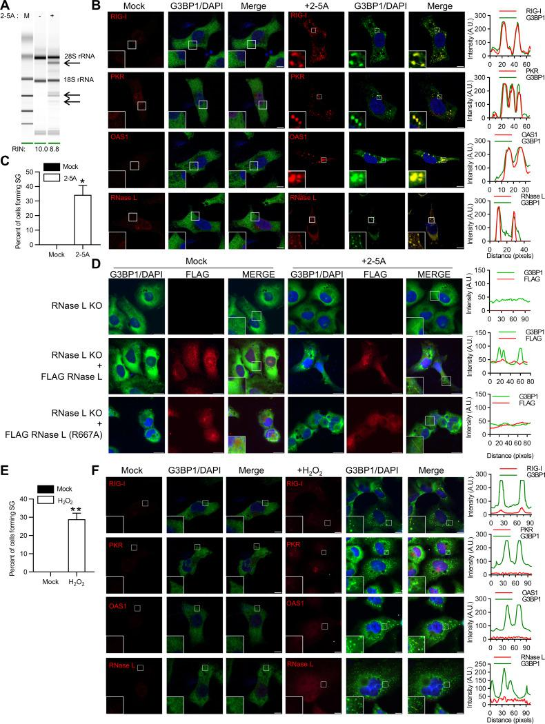 Activation of RNase L induces antiviral stress granule formation. (A) HT1080 cells were transfected with 2-5A (10μM) for 8 h, and RNase L-mediated cleavage of rRNA (arrows) was analyzed on RNA chips using the Agilent Bioanalyzer 2100; RIN, RNA integrity number. (B) Cells were fixed and stained with G3BP1 and the indicated antiviral proteins. The magnified images correspond to the boxed regions. (Right) Intensity profiles of G3BP1 and antiviral proteins along the plotted lines, as analyzed by Image J line scan analysis. (C) The percentages of cells forming stress granules were quantitated. (D) RNase L KO cells were either mock transfected or transfected with FLAG-WT-RNase L or FLAG-R667A-RNase L and immunostained for G3BP1 and FLAG. (Right) Intensity profiles of G3BP1 and FLAG along the plotted lines as analyzed by Image J line scan analysis. (E) HT1080 cells were treated with H 2 O 2  (1mM) for 3 h, and the percentages of cells forming stress granules were quantitated. (F) The cells were immunostained with G3BP1 and the indicated antiviral proteins. (Right) Intensity profiles of G3BP1 and antiviral proteins along the plotted lines as analyzed by Image J line scan analysis. All the experiments included at least 100 cells from three replicates. Scale bars, 10μm. The data are representative of at least three independent experiments. *,  P