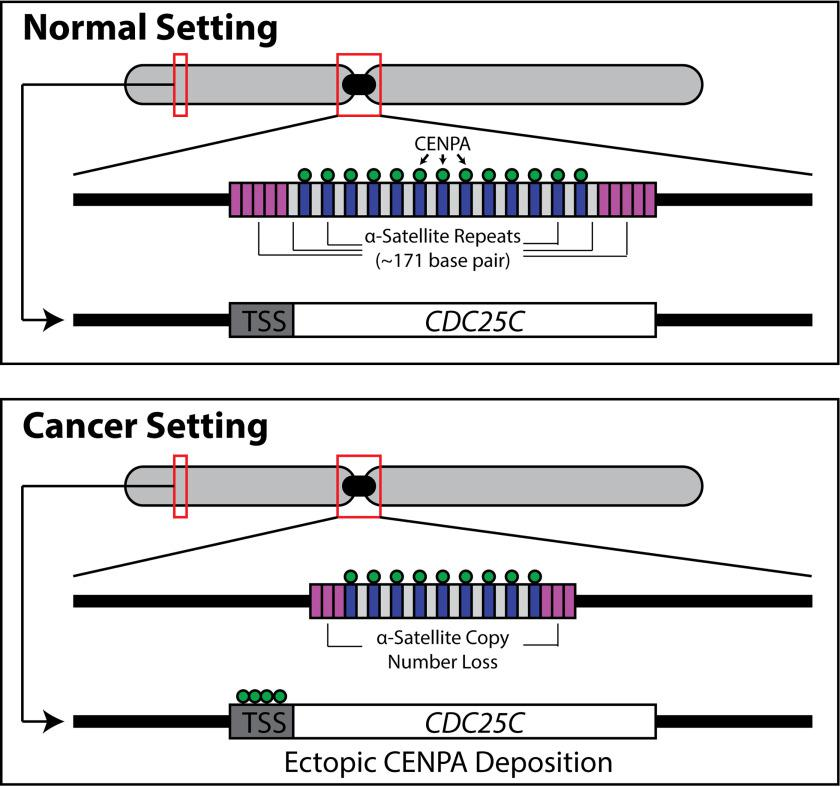 Schematic depiction of centromeric molecular alterations in cancer. Copy number alterations in the form of α-satellite deletions are observed across cancer types in both cell lines and tissue ( 50 ). <t>CENPA,</t> the H3 variant that traditionally occupies α-satellite <t>DNA,</t> ectopically binds gene regulatory elements, such as transcriptional start sites ( TSS ), of genes important for cell cycle progression, such as CDC25C , when overexpressed in cancer. Future studies are necessary to functionally link the ectopic localization to the α-satellite deletions.