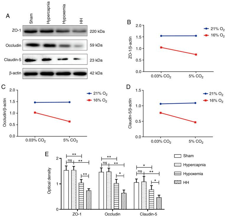 Hypercapnia decreased the expression of tight junctional proteins in the hypoxemic hippocampus (n=4). (A) Immunoreactive bands of ZO-1 (220 kDa), occludin (59 kDa), claudin-5 (23 kDa) and β-actin (42 kDa). (B-D) There were interaction effects between hypoxia treatment and hypercapnia treatment (ZO-1: P