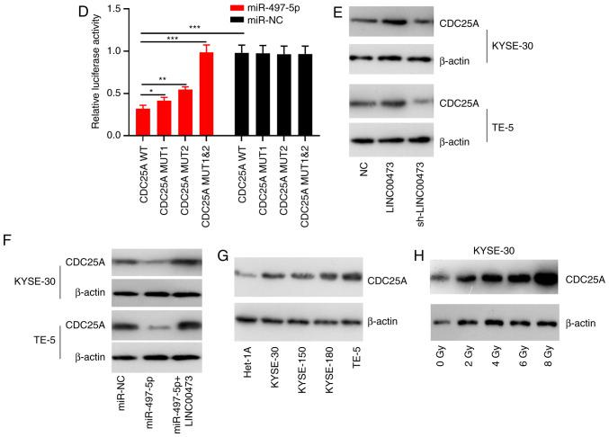 Interaction between miR-497-5p and CDC25A. Binding sites between miR-497-5p and CDC25A were predicted using bioinformatics analysis. (A) Reverse transcription-quantitative PCR was used to quantify the expression of CDC25A miRNA in KYSE-30 and TE-5 cells transfected with miR-NC or miR-497-5p. (B) RT-qPCR analysis of CDC25A expression in KYSE-30 and TE-5 cells transfected with miR-497 mimics or miR-497 inhibitors. (C) Western blot analysis was performed to detect CDC25A expression in KYSE-30 and TE-5 cells transfected with miR-497 mimics or miR-497 inhibitors. (D) The luciferase activity of KYSE-30 and TE-5 cells co-transfected with miR-497-5p and pGL3-miR-497-5p-WT or pGL3-miR-497-5p-MUT. (E) Western blot analysis was performed to detect CDC25A expression in KYSE-30 and TE-5 cells transfected with pcDNA-LINC00473 or sh-LINC00473. (F) Western blot analysis was performed to detected CDC25A expression in KYSE-30 and TE-5 cells transfected with miR-497-5p alone or miR-975-5p+pcDNA-LINC00473. (G) Western blot analysis was performed to detect CDC25A expression in four esophageal squamous cell cancer cell lines (KYSE-30, KYSE-150, KYSE-180 and TE-5) and a normal esophageal epithelial cell line (Het-1A). (H) Western blot analysis was conducted to detect CDC25A expression in KYSE-30 cells under different doses of irradiation. * P