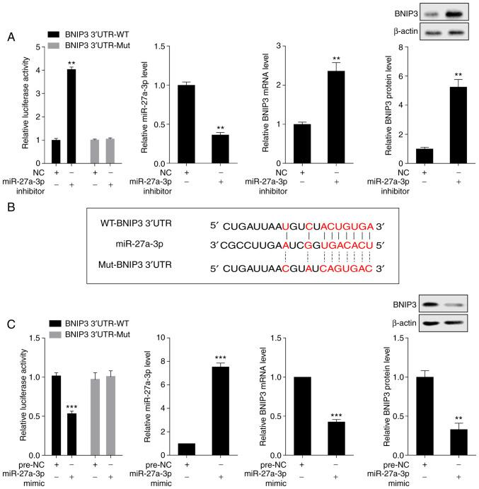 BNIP3 is negatively regulated by miR-27a-3p. (A) The interaction between miR-27a-3p and BNIP3 was assessed by dual luciferase reporter assay, and the expression levels of miR-27a-3p, BNIP3 mRNA, and BNIP3 protein were examined by RT-qPCR and western blot analysis, respectively. ** P