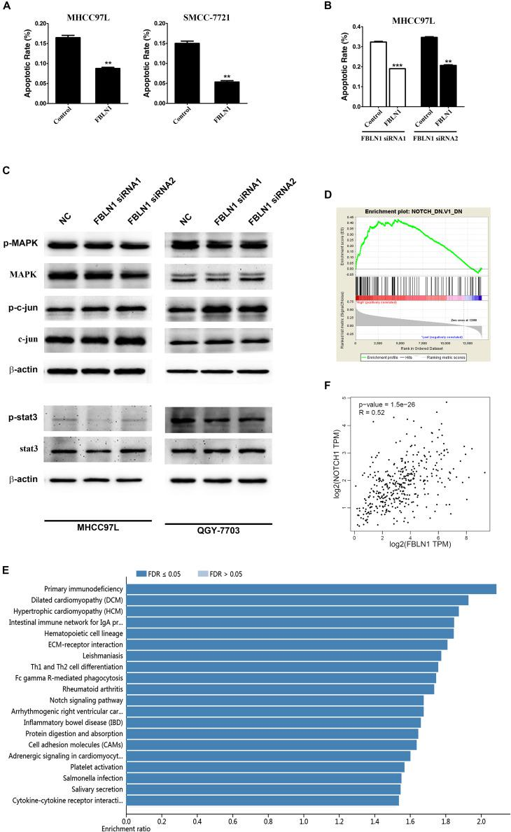 Fibulin-1 overexpression decreases apoptosis in various cancer cell lines and bioinformatic analysis of Fibulin-1. (A) Twenty-four hours after transfection with the control <t>(pcDNA3.1)</t> or FBLN1 plasmid (pcDNA3.1-FBLN1C), MHCC97L and SMCC-7721 cells were deprived of serum for 72 h. (B) Twenty-four hours after transfection with FBLN1 siRNA1 or FBLN1 siRNA2, MHCC97L cells were transfected with the control (pcDNA 3.1) or FBLN1 plasmid (pcDNA3.1-FBLN1C) for the next 24 h. Then, the MHCC97L cells were deprived of serum for 48 h. Apoptosis was analyzed using DAPI staining. ** p