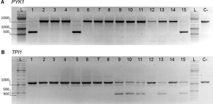 """Diagnostic PCR for selective editing of native glycolytic genes. Separation of PCR products resulting from outside–outside amplification to identify edited (nonwatermarked) and nonedited (watermarked) loci for PYK1 (A) and TPI1 (B) from transformants of IMX1717 (double SinLoG). (A) Lanes 1–15 show the PCR results of amplification of the PYK1 locus of randomly picked colonies. Successful editing of the locus results in a DNA fragment with a length of 670 bp. No editing of the locus results in a DNA fragment with a length of 2177 bp. Primers 11915 and 4667 were used. Lanes 1, 5, and 15 display bands of both sizes revealing selective editing. (B) Lane 1–15 show the PCR results of amplification of the TPI1 locus of randomly picked colonies. Successful editing of the locus results in a DNA fragment with a length of 378 bp. No editing of the locus results in a DNA fragment with a length of 1125 bp. Primers 3514 and 6406 were used. Lanes 9–11, 13, and 15 display bands of both sizes revealing selective editing. A negative control is indicated with """"C-"""" (IMX1338, SinLog). In the lanes indicated with """"L"""", GeneRuler DNA ladder mix was loaded. 1% (w/v) agarose in TAE."""