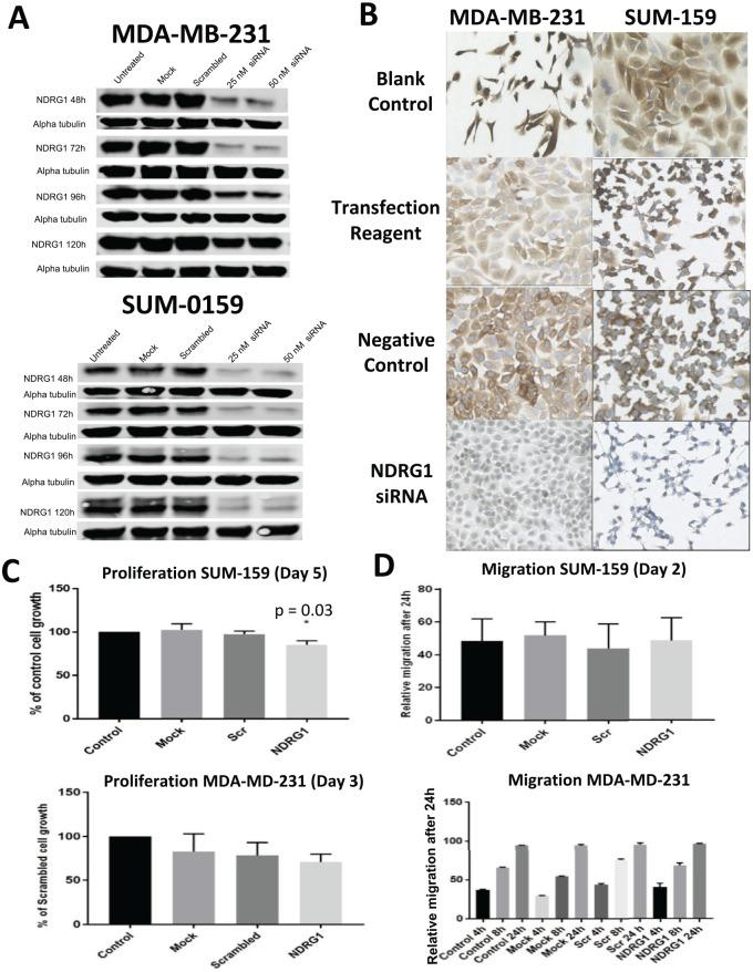 Silencing NDRG1 in SUM-159 and MDA-MB-231 cells. (A) Western blot analysis of lysates from MDA-MB-231 and SUM-159 cell lines transfected with NDRG1 siRNA at 48, 72, 96, and 120 hours post-transfection. (B) Transfection after 48 hours was validated by immunocytochemistry for depleted NDRG1 protein (brown) in MDA-MB-231 and SUM-159 cells. Blank control represents non-transfected control cells; transfection reagent represents cells in the presence of <t>DharmaFECT</t> 4 transfection reagent only; negative control represents cells transfected with non-targeting control siRNA. (C) Proliferation of SUM-159 (top) and MDA-MB-231 (bottom) cells was determined using the SRB assay at 120 and 72 hours, respectively, post-transfection with NDRG1 siRNA or non-targeting control siRNA. Experiments were performed in triplicate, and data were normalised to control (untreated) cells; statistical significance was computed using 1-way ANOVA. (D) Migration rate of SUM-159 (top) and MDA-MB-231 (bottom) cells was determined by wound healing assay 48 hours after transfection. Relative migration was determined after 24 hours. Data were normalised to control cells; statistical significance was computed using 1-way ANOVA. ANOVA indicates analysis of variance; SRB, sulforhodamine B.