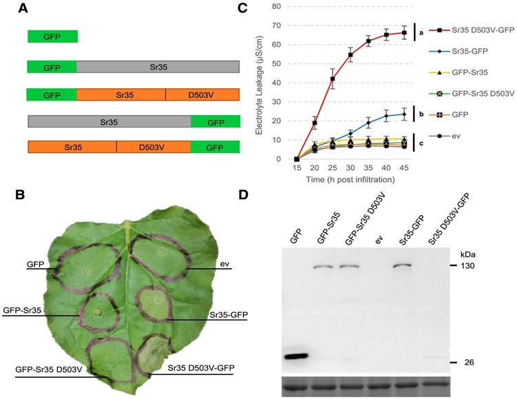 Sr35 induces cell death when overexpressed in Nicotiana benthamiana . A, Schematic diagram of green fluorescent protein (GFP) fused to the N (GFP-Sr35) and C (Sr35-GFP) terminus of Sr35 with and without the autoactive mutation (D503V). B, Macroscopic cell death observed 48 h postinfiltration (hpi) with Agrobacterium tumefaciens ; ev = empty vector. C, Electrolyte leakage 15 to 45 hpi. Error bars represent standard error based on four biological replicates per construct. Different letters indicate significantly different groups of means based on Tukey's honestly significant difference test (α= 0.01) performed at 45 hpi (statistical analyses in Supplementary Table S2 ). D, Western blots of protein extracts from N. benthamiana 24 hpi, analyzed using an anti-GFP-horseradish peroxidase antibody. No protein was observed here for Sr35 D503V-GFP, but it was detected after immunoprecipitation ( Supplementary Fig. S2 ). The lower panel is the same blot stained with Ponceau S to reveal the Rubisco large subunit protein used as loading control.