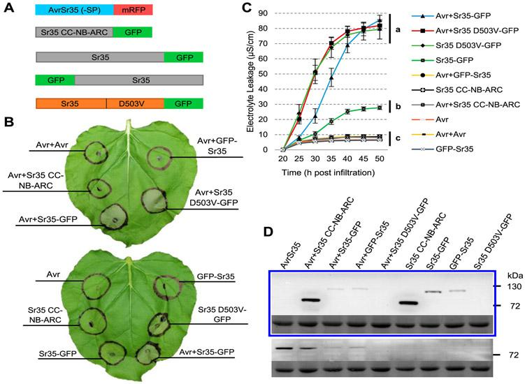 AvrSr35 and Sr35 with a C-terminal green fluorescent protein (GFP) tag trigger a strong cell-death response. A, Schematic diagram of Sr35 and AvrSr35 constructs. B, Macroscopic cell death in Nicotiana benthamiana leaves 48 h postinfiltration (hpi) with Agrobacterium tumefaciens (+ indicates coinfiltration). Avr refers to the AvrSr35–SP+mRFP construct (no signal peptide and monomeric red fluorescent protein [mRFP] C-terminal tag). Avr+Avr coinfiltration control corresponds to AvrSr35 infiltrated at double the optical density. C, Electrolyte leakage for all constructs was monitored from 20 to 50 hpi. Error bars represent standard error based on four biological replicates per construct. Different letters represent significantly different groups of means, based on Tukey's honestly significant difference test (α = 0.01) performed at the last timepoint (statistical analyses in Supplementary Table S6 ). D, GFP-HRP (horseradish peroxidase) Western blot (upper panel) showing that all constructs except Sr35 D503V-GFP expressed proteins of the expected sizes. Sr35 D503V-GFP was detected by immunoprecipitation ( Supplementary Fig. S2 ). The blot shown below is the same blot stained with Ponceau S to reveal bands corresponding to the Rubisco large subunit protein as a loading control. DsRed and mouse-HRP Western blot (lower panel) revealed AvrSr35 in all coinfiltrated samples except Avr+Sr35 D503V-GFP, likely due to rapid cell death. The blot shown below is the same blot stained with Ponceau S to reveal bands corresponding to the Rubisco large subunit protein as loading control.