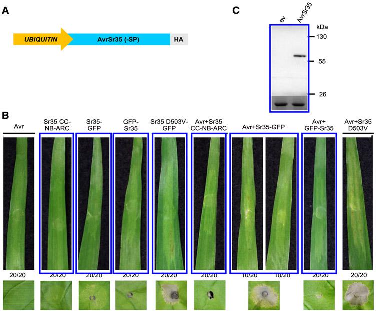 AvrSr35 recognition by Sr35 in barley. A, Model of AvrSr35–SP+HA (no signal peptide and C-terminal hemagglutinin [HA] tag) construct. B, Transient expression of Sr35 and AvrSr35–SP+HA constructs in barley. Top panel: macroscopic cell death in Manchuria barley leaves 7 days postinfiltration with Agrobacterium tumefaciens carrying Sr35 and AvrSr35–SP+HA constructs. Ratios represent the number of the 20 leaves transformed with each construct that showed the same result as the presented images. Lower panel: macroscopic cell death in Nicotiana benthamiana leaves 72 h postinfiltration with the same Agrobacterium culture. Leaf images were cropped to save space. The experiment was repeated twice with similar results. C, HA-horseradish peroxidase Western Blot (upper panel) showing AvrSr35–SP+HA expressed at the expected size in N. benthamiana . ev = empty vector. The blot was also stained with Ponceau S (lower panel) to reveal bands corresponding to the Rubisco large subunit protein as a loading control.