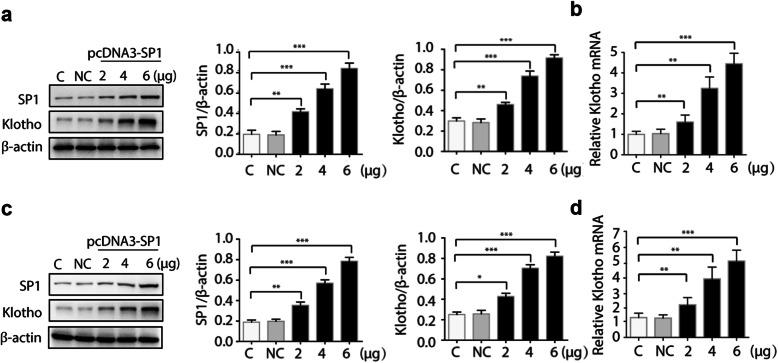 Overexpression of Sp1 upregulates Klotho expression. HK-2 cells ( a - b ) or HEK-293 cells ( c - d ) were transfected with increasing amount of pcDNA3-Sp1 plasmid or empty control. 48 h after transfection, total proteins were isolated and the protein levels of Sp1 and Klotho were detected by Western blots ( a / c ). Total cell RNAs were isolated for quantitative RT-PCR to analyze the mRNA level of Klotho ( b / d ). Data were expressed as the mean ± SD in three independent experiments. *** p