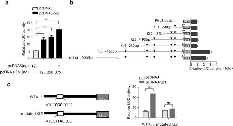 Sp1 binds to the human Klotho gene ( KL ) promoter. ( a ) HEK-293 cells were co-transfected with Full KL/LUC reporter and pcDNA3 or pcDNA3-Sp1 plasmid. 24 h after transfection, cells were lysed and transcriptional activity was detected by dual-luciferase assays. ( b ) Cells were transfected with full length or truncated reporter, combined with pcDNA3 or pcDNA3-Sp1 plasmid. 24 h after transfection, HEK-293 cells were lysed and transcriptional activity was detected. ( c ) HEK-293 cells were transfected with KL5/LUC or mutated KL5/LUC reporter, and transcriptional activity was detected as before. As an internal control, Rinella (pRL-TK) was used to normalize the transfection efficiency. Mean ± SD of triplicate experiments performed independently. *** p