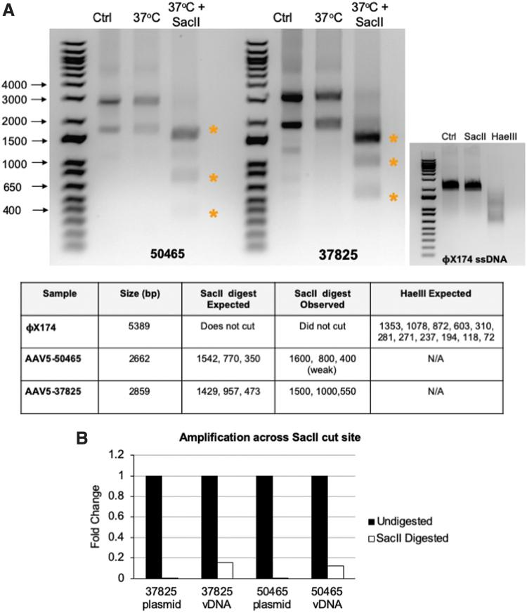 Analysis of DNA conformation of rAAV vectors. (A) DNA extracted from the rAAV vectors pAAV-hSyn-EGFP (AAV-50465) and pAAV-CAG-GFP (AAV-37825) were left untreated (Ctrl) or incubated in the presence (37°C + Sac II) or absence (37°C) of the restriction enzyme Sac II and products separated by agarose gel electrophoresis. <t>ΦX174</t> DNA was incubated in the presence of Sac II, Hae III or left untreated. The table lists the size of the viral genomes and the expected products after digestion. (B) Undigested and Sac II digested DNA from plasmid DNA or extracted vDNA was amplified with primers targeting the region surrounding the Sac II cleavage site or gfp as a control. Sac II amplification was normalized to gfp amplification, and fold change of undigested to Sac II digested samples was calculated and plotted. gfp , green fluorescent protein gene; rAAV, recombinant adeno-associated virus; vDNA, virus DNA. Color images are available online.