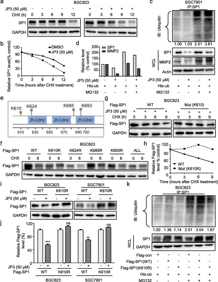 JP3 triggers ubiquitination modification of SP1 at K610 in GC cells. a BGC823 cells were treated with JP3 (0 or 50 μM), and then with CHX and harvested at the indicated time points for Western blotting. b The relative intensities of the SP1 protein bands were analyzed by densitometry after normalization to GAPDH. c Ubiquitination of SP1 was induced by JP3. His-ub was transfected into SGC7901 cells for 48 h and with JP3 (0 or 50 μM) for another 24 h, followed by pre-treatment with or without MG132 (10 μM) for 6 h. d The intensities of the SP1 and MMP2 protein bands in SGC7901 cells were analyzed by densitometry after normalization to Actin. e Data from the PhosphoSitePlus ( https://www.phosphosite.org ) showed the potential sites required for ubiquitination of SP1. f BGC823 cells were transfected with Flag-SP1 (WT) or mutants, followed by exposure to CHX (100 μg/ml) for 6 h. The indicated proteins were detected by Western blotting. g-h BGC823 cells were transfected with Flag-SP1 (WT) or Flag-SP1 (K610R) for 48 h and then JP3 (50 μM) for 24 h, followed by exposure to 100 μg/ml of CHX for 0, 3, 6, 9 h; the protein level of Flag-SP1 was determined by Western blotting, and the intensity of the SP1 protein bands were analyzed ( h ). i, j BGC823 (left) and SGC7901 (right) cells were transfected with Flag-SP1 (WT) or Flag-SP1 (K610R) for 48 h, followed by treatment with JP3 (50 μM) for 24 h, and j the intensity of the SP1 protein bands were analyzed. The data are presented as the means ± SEM, ns: no significance, ** P