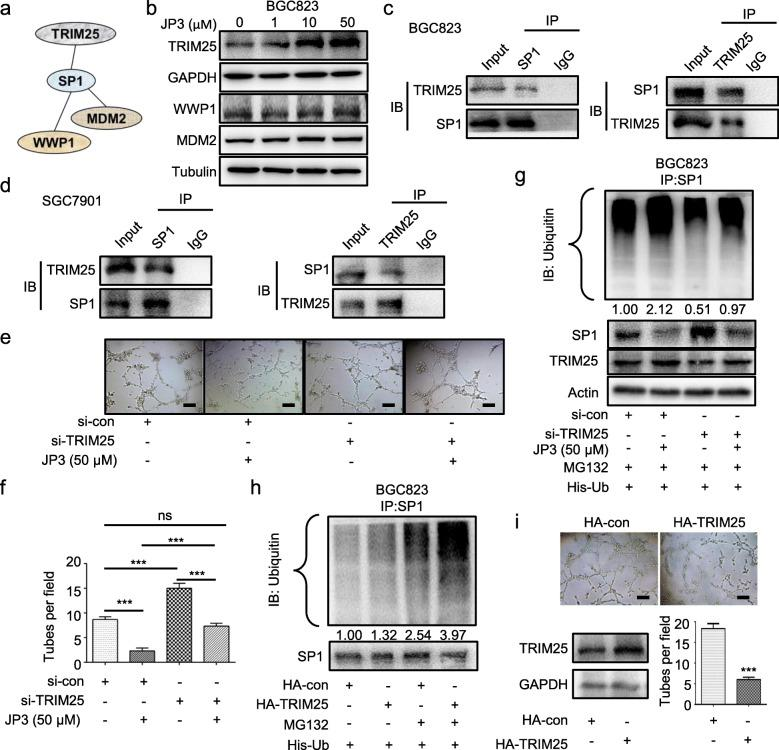 JP3 inhibits angiogenesis through degrading SP1 by E3 ubiquitin ligase TRIM25 in GC cells. a The relationship between the ubiquitin enzymes and SP1 was predicted online ( http://genemania.org/ ). b BGC823 cells were treated with JP3 (0, 1, 10, 50 μM) for 24 h. The indicated protein levels were determined by Western blotting. c-d BGC823 ( c ) and SGC7901 ( d ) cells were pre-treated with MG132 (10 μM) for 6 h, and the endogenous protein-protein interaction between TRIM25 and SP1 was assessed by IP with anti-TRIM25 or anti-SP1 antibodies, followed by Western blotting. e si-TRIM25 was transfected into BGC823 cells for 48 h, followed by JP3 treatment for 24 h, and then, tube formation assay was performed. f The tube number was analyzed (means ± SEM, n = 3). *** P