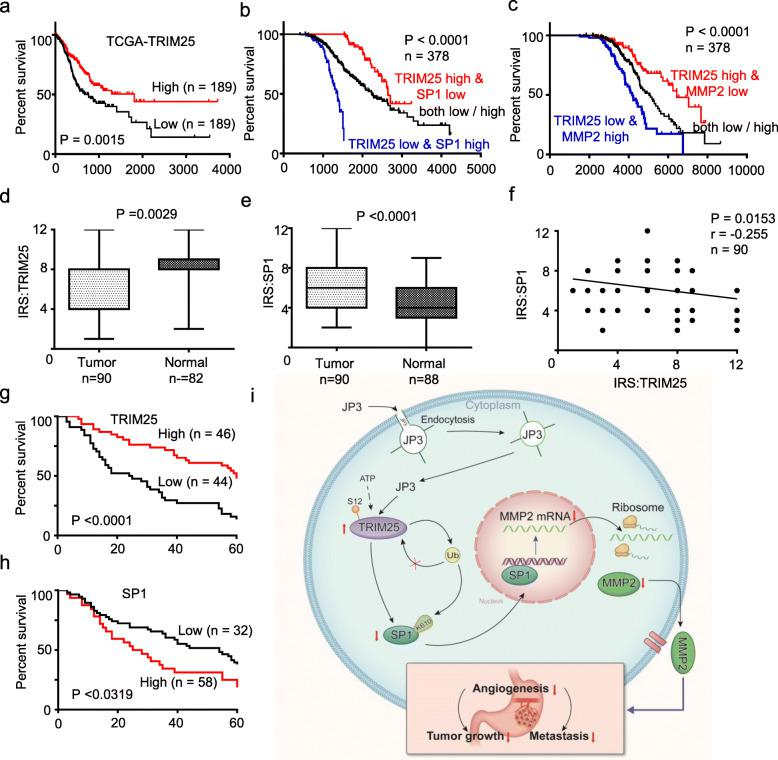 Dysregulation of the TRIM25-SP1-MMP2 axis in GC. a-c Kaplan–Meier Overall Survival curves of human GC patients with low versus high TRIM25 ( a ), combined with TRIM25/SP1 ( b ) and combined with TRIM25/MMP2 ( c ) expressions, based on TCGA data ( http://www.oncolnc.org/ ). d-e Protein levels of TRIM25 and SP1 were detected in GC tumor tissues and normal tissues by IHC. f The correlations of the TRIM25 protein levels and SP1 protein levels were calculated ( n = 90). g-h Kaplan-Meier curves depicting OS according to the expression patterns of TRIM25 ( g ) and SP1 ( h ) in the GC cohort. P values were calculated with the log-rank test. i A working model of JP3 on inhibiting tumor angiogenesis of CC via activating TRIM25 signaling pathway