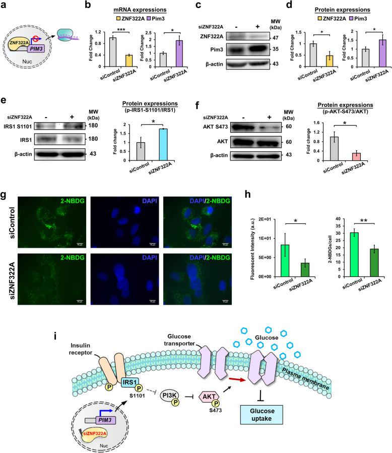 ZNF322A modulates glucose uptake via the IRS1/PI3K/AKT pathway in A549 lung cancer cells. a Schematic representation of the inhibitory transcription regulation of ZNF322A on PIM3. b Relative mRNA levels of ZNF322A and PIM3 were examined by RT-qPCR analysis, and normalized by GAPDH. c-d Proteins were extracted from ZNF322A-silenced (siZNF322A) A549 cells after 48 h transfection. Protein expressions of ZNF322A and PIM3 were examined by immunoblot analysis. Representative western blot (c) and associated densitometric analysis (d) for ZNF322A and PIM3 expressions in A549 lung cancer cells. e-f Protein expressions of IRS1 S1101 and AKT S473 phosphorylation were examined by immunoblot analysis. Phosphorylation levels were determined and normalized to the level of total proteins. The normalized values were compared between siRNA control (siControl) and siZNF322A groups. g-h Effect of 2-NBDG uptake upon ZNF322A perturbation in A549 lung cancer cells. Representative fluorescence microscopy images of 2-NBDG uptake ability in siRNA control (upper) and siZNF322A-silenced (bottom) A549 cells. 2-NBDG: green; DAPI: blue; scale bar: 10 μm (g). Mean fluorescence intensity (left) and number (right) of 2-NBDG in siControl and siZNF322A cells (h). ( i ) Schematic representation of the depletion of ZNF322A by siRNAs in A549 lung cancer cells transcriptionally regulates PIM3 kinase to induces IRS1 Ser1101 phosphorylation, which attenuates PI3K/AKT signaling pathway and inhibits AKT S473 , leading to glucose uptake blockade. β-actin is the internal control to normalize protein expression. The bars represent densitometric analysis of three biological replicates and the data are shown as mean ± SD. * p
