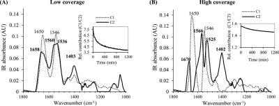MCR analysis of IR spectral data sets of goethite-associated BSA during 20 h proteolysis reaction at 0.7 (low coverage, A) and 1.4 mg BSA m –2 (high coverage, B) and at pH 4.0 in 0.01 M NaCl. The spectra of components 1 (C1) and 2 (C2) are presented as dotted and solid lines, respectively, and the relative contribution of C1 and C2 during the proteolysis is shown as insets. Note that the spectra of C1 and C2 are presented as the unmodified output from the MCR analysis, that is, they have not been scaled separately after the analysis. The numbers in the plain and bold text indicate the main peak positions of C1 and C2, respectively. The first time point was collected after ca. 1 min.