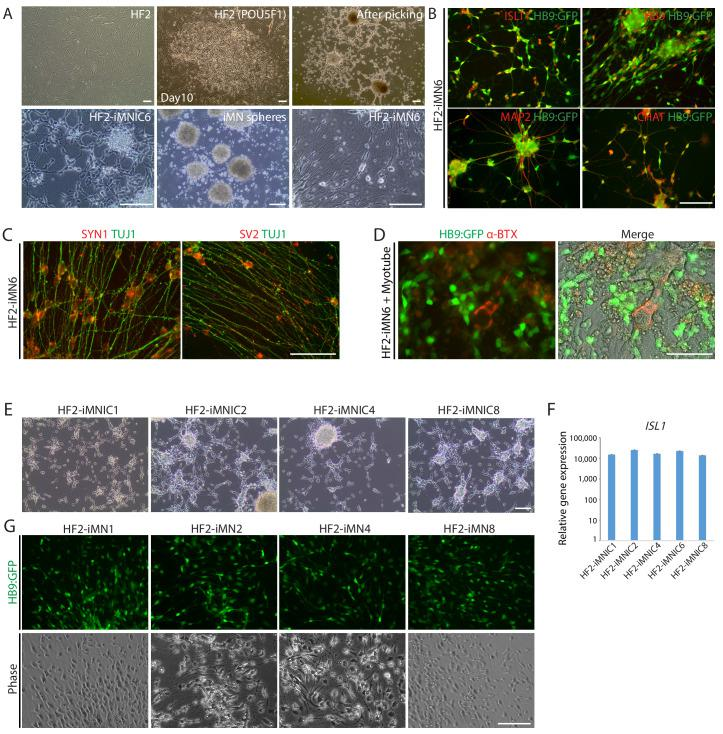 Generation of iMNs from additional human fibroblasts (HF2). ( A ) The morphological changes of additional human fibroblast line (HF2) into iMNs (HF2-iMNs) during MN direct conversion process. Scale bars, 125 μm. ( B ) Immunofluorescence images of HB9:GFP+ HF2-iMNs (HF2-iMN6) co-expressing MN specific markers (ISLT1, HB9, MAP2, and CHAT). Scale bars, 125 μm. ( C ) Immunofluorescence images of HF2-iMN6 stained with TUJ1 and synaptic markers, SYN1 and SV2. Scale bars, 125 μm. ( D ) Immunofluorescence images of HB9:GFP+ HF2-iMN6 labeled with α-bungarotoxin-alexa555, showing formation of NMJs with myotubes. Scale bars, 75 μm. ( E ) Morphologies of established HF2-iMNIC clones (HF2-iMNIC1, 2, 4 and 8). Scale bars, 125 μm. ( F ) qRT-PCR analysis of ISL1 gene expression in HF2-iMNIC clones relative to fibroblasts. Graphs present fold changes after normalization to GAPDH . Data are presented as mean ± SD, and represent experimental replicates (n = 3). ( G ) The emergence of HB9:GFP+ iMNs (HF2-iMN1, 2, 4 and 8) converted from HF2-iMNIC clones. The morphologies of the cells are shown in phase contrast. Scale bars, 125 μm.