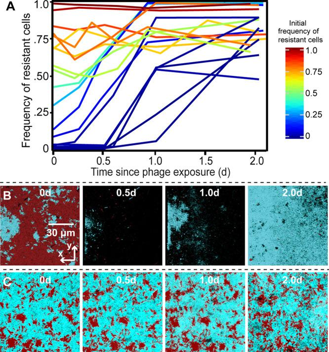 Experimental test of model predictions for phage-biofilm coexistence. Biofilms containing mixtures of phage T7-susceptible  E. coli  AR3110 and a phage T7-resistant mutant carrying a deletion of  trxA  were grown for 48 h before administering a pulse of phages to the two-strain biofilm population. The frequency of resistant cells is shown in traces colored according to their initial frequency, where each trace is an independent run of the experiment. (A) Population dynamics traces showing the frequency of phage-resistant  E. coli  as a function of its initial population frequency. Each trace is a single replicate of the experiment, with various initial ratios of the two strains as in our simulations. (B and C) Time series of phage-resistant (blue) and phage-susceptible cells (red) following a pulse of phages into the chambers. The panels from left to right show biofilms at ∼0, 0.5, 1, and 2 days after phage exposure. Each image is an  x - y  optical section from a stack of images covering the whole biofilm volume, acquired by confocal microscopy.