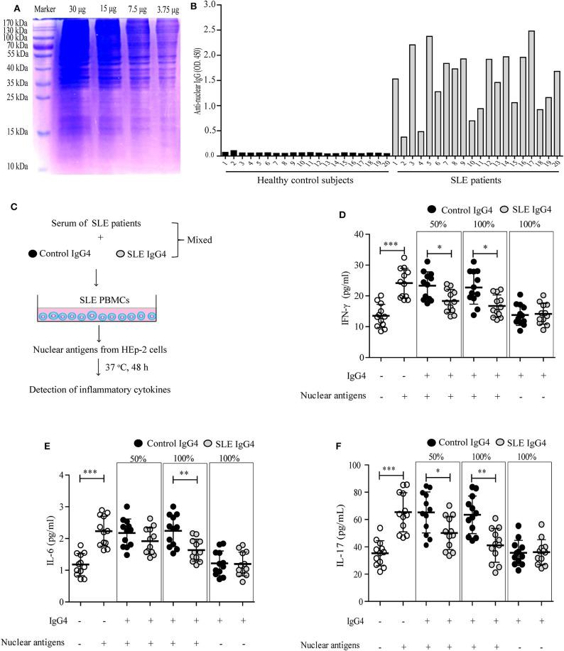 Analysis of purified IgG4 autoantigens and their effect on inflammatory cytokine production by SLE PBMCs in vitro . Purified nuclear autoantigens from HEp-2 cells were analyzed by SDS-PAGE (A) , and serum anti-nuclear IgG autoantibodies from healthy control subjects and SLE patients were detected by ELISA (B) . (C) Schematic representation of the in vitro inflammatory cytokine assays. Three independent experiments were performed. The production of inflammatory cytokines, including IFN-γ (D) , IL-6 (E) , and IL-17 (F) by autoantigen-stimulated SLE PBMCs were detected, mixed with or without different concentrations of purified IgG4 (the IgG4: IgG ratio was 50 or 100%). As blank control, the first column of white circles from the left represents only SLE PBMCs ( n = 12, grown in DMEM/F12 supplemented with 25% serum of SLE patients), without IgG4 and nuclear antigens (D–F) ; As positive control of the existence of nuclear antigens, the second column of white circles represents SLE PBMCs ( n = 12, grown in DMEM/F12 supplemented with 25% serum of SLE patients), plus nuclear antigens, but without IgG4 (D–F) . * P