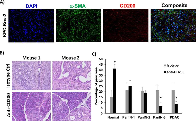 <t>CD200</t> antibody blockade limits tumor progression in GEM model of PDAC. (A) Representative immunofluorescence from pancreatic tissue of KPC-Brca2 mice stained for DAPI (blue), a-SMA (green), and CD200 (red). (B) KPC-Brca2 mice were treated at 6 weeks of age with 200 µg (intraperitoneal injection three times/week) of isotype control or CD200 antibodies (n=5 mice/group). (C) Histology was pathologically scored for PanIN lesions and quantified. Mean±SD; *p