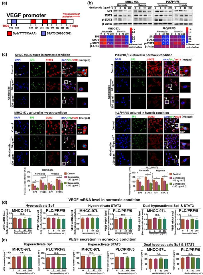 Geniposide down‐regulated Sp1‐ and STAT3‐related VEGF transcription in hepatocellular carcinoma (HCC) cells. (a) Binding sites of putative transcription factors (Sp1 and STAT3) in the specific sequence of luciferase‐targeted VEGF promotor. (b) Determination of expressions of Sp1, total and phosphorylated STAT3 in MHCC‐97L and PLC/PRF/5 cells with or without geniposide stimulation under normoxic or hypoxic condition. (c) Representative confocal images of in vitro HCC cells with or without geniposide. HCC slices are incubated with both antibodies, Sp1 and STAT3. Merged figures illustrate the co‐localization of Sp1 (green), STAT3 (red) and cell nucleus (blue). (d) Normoxic mRNA level or (e) secretory expression of VEGF in MHCC‐97L and PLC/PRF/5 cells with three independent conditions by plasmid transfection as follows: overexpression of Sp1, STAT3 and dual hyperactivation of Sp1 and STAT3, respectively. Note that the expression of Sp1 and STAT3 can be markedly inhibited by geniposide intervention. All data are shown as mean ± SD of five independent assays with at least three replicates. * P
