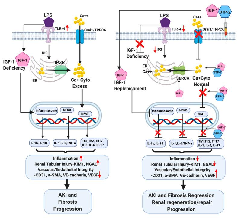 Schematic molecular pathway responses to the induction of AKI by LPS and the preventative therapeutic counteractions by IGF-1 and BTP-2. The left panel shows the effects of LPS, while the right panel shows the effects of combination therapy, IGF-1 + BTP-2. LPS initiates the destructive process by activating TLR-4, which leads to an enhancement of IP3 receptor activity in the ER, which in turn enhances the calcium reflux from the ER to the cytosol. The depletion of ER calcium activates plasma membrane calcium influx, via Stim, through Orai1/TRPC6 channels. The consequent increase in cytosol calcium propels the pathway that leads to inflammation and injury, as described in the text. On the right panel, the red X indicates the sites of action of combination therapy (IGF-1 + BTP-2), which had positive effects on all of the adverse system changes caused by LPS administration. The action of BTP-2 is to specifically inhibit Orai1 and TRPC6, which counteracts the effect of LPS on calcium influx into the cytosol. The function of BTP-2 to inhibit the calcium channel regulator is complemented by IGF-1, which acts on SERCA to increase calcium influx into the ER from the cytosol. The consequent decrease in cytosolic calcium counteracts much of the adverse actions of LPS, as described in the text.
