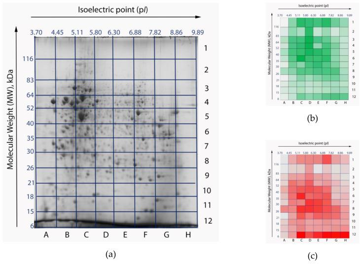 Two-dimensional electrophoresis (2DE) gel maps of the HepG2 cell line proteome: original stained gel with resolved proteins ( a ) [ 10 ]; heatmaps of peptide ( b ) and protein ( c ) identifications. Gel cells with a larger number of identifications are colored with high-intensity colors. The most intensive colors correspond to 4919 peptides and 193 proteins, respectively. Gel cells with a lower number of identifications appear pale. The least intensive colors correspond to 158 peptides and 5 proteins, respectively. Isoelectric points (p I ) are marked as the x-axis , molecular weights (MW) are marked as y-axis .