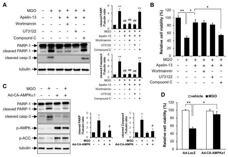 Apelin-13 ameliorates MGO-induced apoptosis through AMPK pathway in HUVECs. Cells pretreated with wortmannin (50 nM), U73122 (1 µM), and compound C (1 µM) were stimulated with 100 µM MGO for 24 h in the presence or absence of 1 µM apelin-13. ( A ) HUVECs were lysed and then applied for Western blotting analysis. Protein level amounts were determined by immunoblotting with anti-PARP-1 and anti-caspase-3 antibodies. The graph shows the densitometric quantification of Western blot bands. ** p