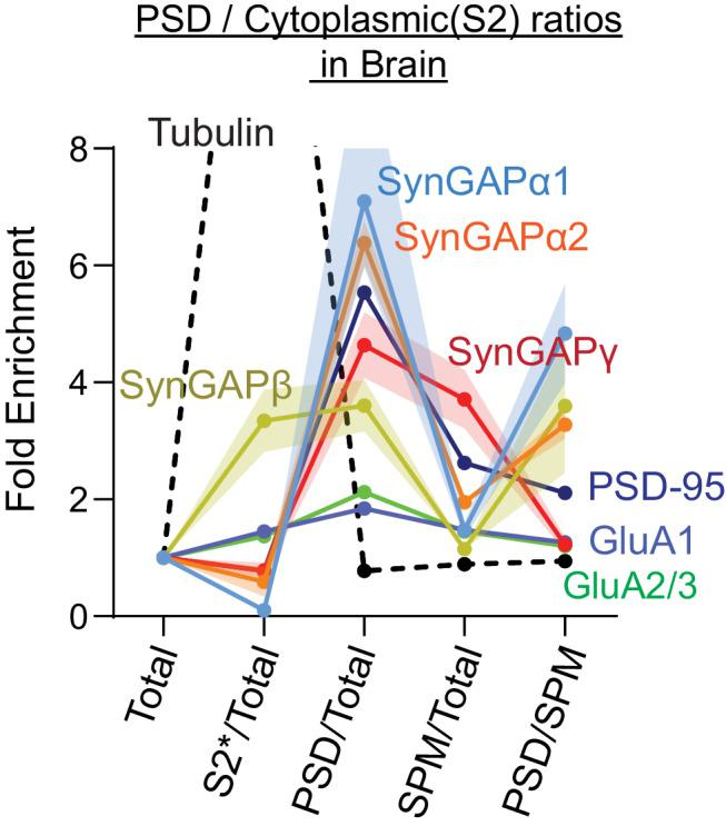 Subcellular localization of various SynGAP isoforms in the brain. <t>Complete</t> set of quantification for immunoblot probing endogenous levels of individual SynGAP isoforms and other synaptic proteins in forebrain tissue lysates obtained from adult mice subjected to postsynaptic density fractionation that corresponds to Figure 3 . Error bars indicate ± SEM.