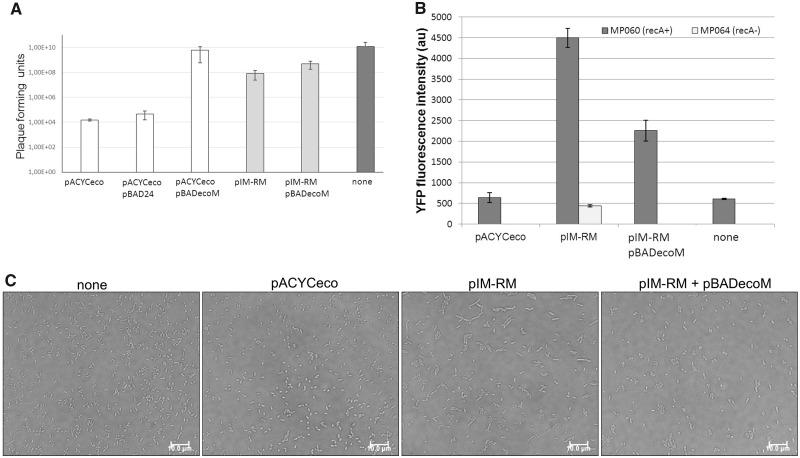 Overmethylation alleviates the highly restrictive phenotype and suppresses the autorestriction defects. <t>Escherichia</t> coli ER1992 (A) or MP060 cells (B, C) carrying pACYCeco or pIM-RM plasmids were co-transformed with pBADecoM carrying the arabinose inducible ecoRIM gene. MTase expression was induced with 0.04% for 1 h at 37 °C (A) or overnight (B, C). Then, a quantitative assay for restriction λ vir phage DNA was performed (A), and SOS-inducing YFP fluorescence was measured (B) or microscopy of cells was conducted (C).