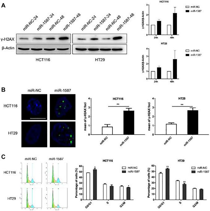 Overexpression of miR-1587 induces CRC cells DSBs and induces G1 phase arrest. A, MiR-1587 enhances γ-H2AX expression. CRC cells were transfected with miR-1587 or miR-NC mimics for 48 hours and the expression of γ-H2AX was detected by Western blot analysis (left). The protein was quantified by gray-scale statistics (right). B, Overexpression of miR-1587 triggers the formation of γ-H2AX foci. CRC cells were seeded onto coverslips in 6-well plates and transfected with miR-1587 or miR-NC mimics for 48 hours. γ-H2AX foci were detected by indirect immunofluorescence staining from a minimum of 200 randomly selected cells in each group. Scale bar: 20 μm. t test, mean ± SD, n = 200. C, MiR-1587 overexpression induces G1 phase arrest. CRC cells were transfected with miR-1587 or miR-NC mimics for 48 hours and the cell cycle analysis was performed via flow cytometry. A total of 10 000 cells in each sample were scored. t test, mean ± SD, n = 3. * P