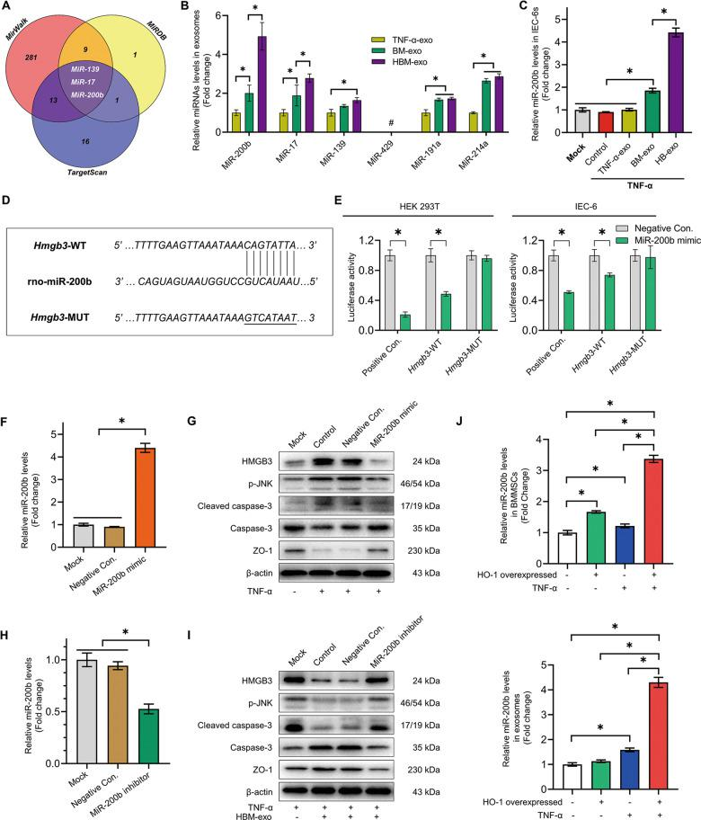 MiR-200b in HBM-exo targets Hmgb3 to attenuate the inflammatory injury of IECs. a TargetScan, miRWalk, and miRDB database predicted the microRNAs targeting the 3′ UTR of Hmgb3 . b QRT-PCR was used to detect the relative expression levels of miR-200b, miR-17, miR-139, miR-429, miR-191a, and miR-214a in TNF-α-exo, BM-exo, and HBM-exo groups (normalized by U6, fold change to TNF-α-exo, n = 5). c QRT-PCR was used to detect the relative expression of miR-200b in the Mock, TNF-α, TNF-α-exo, BM-exo, and HBM-exo groups (fold change relative to the Mock group, n = 4). d , e The plasmids HMGB3-WT (wild-type), HMGB3-MUT (mutant-type), positive control (Positive Con.) and negative control (Negative Con.) were constructed. Dual luciferase reporter assays were used to verify the targeted binding relationship between miR-200b and the 3′ UTR region of Hmgb3 in HEK293T cells and IEC-6s ( n = 3). f , g The protective effect of <t>overexpression</t> of miR-200b on inflammatory injury of IEC-6s. Transfection of miR-200b mimic and Negative Con., western blotting to verify the Mock group, Control group under TNF-α damage, and the Negative Con group. The relative expression levels of HMGB3, phosphorylated (p-) JNK, and other proteins in IEC-6s of the control and miR-200b mimic groups ( n = 3); h , i Interference with miR-200b expression to block the protective effect of HBM-exo on inflammatory IEC-6s. Transfection of an miR-200b inhibitor and Negative Con. After treatment, the relative expression levels of HMGB3 and p-JNK were detected in the model of IEC-6s protected by HBM-exo ( n = 3). j The relative expression levels of miR-200b in <t>BMMSCs,</t> HO-1/BMMSCs, TNF-α + BMMSCs, TNF-α + HO-1/BMMSCs cells, and exocrine bodies were detected (fold change to BMMSCs, n = 5). * P