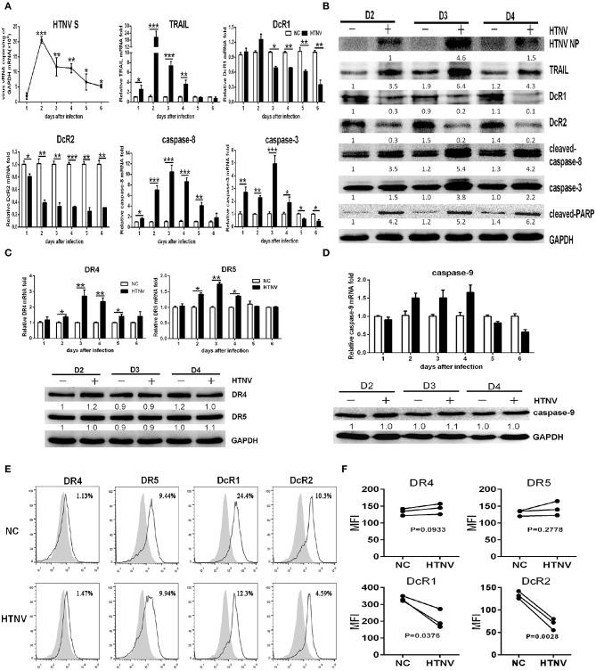 HTNV induces TRAIL-dependent apoptosis in primary HUVECs. HUVECs were infected with/without HTNV 76-118 (MOI = 1) for 2 h and followed by qRT-PCR and Western blot at different days to measure TRAIL-related apoptosis factors.  (A)  HTNV S, TRAIL, DcR1, DcR2, caspase-8, and caspase-3 mRNA in HTNV-infected HUVECs.  (B)  HTNV NP and TRAIL-related apoptosis proteins expression in HTNV-infected HUVECs.  (C)  TRAIL-DR4/DR5 and  (D)  caspase-9 mRNA and protein expression during HTNV infection. The mRNA results shown are the average of three replicates; values represent the mean ± SD ( * p