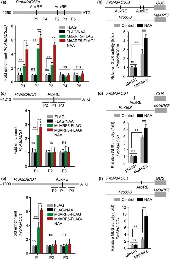 MdARF5 positively regulates ethylene biosynthetic genes through binding to their promoters. (a) ChIP (chromatin immunoprecipitation)‐PCR analysis showing MdARF5 binding to the MdACS3a promoter (1250 bp) in vivo . Cross‐linked chromatin samples were extracted from MdARF5‐FLAG‐overexpressing fruit calli treated with or without naphthaleneacetic acid (NAA) and precipitated with FLAG antibody. Eluted DNA was used to amplify sequences neighboring the AuxRE (auxin responsive element, ARF binding site) by quantitative PCR (qPCR). Five fragments (P1–P5) were analyzed. Fruit calli overexpressing the FLAG sequence alone were used as a negative control. (b) GUS ( β ‐glucosidase) activation assay showing that MdARF5 positively regulates the MdACS3a promoter. The MdARF5 effector vector and MdACS3a promoter reporter vector were co‐infiltrated into wild tobacco ( Nicotiana benthamiana ) leaves to analyze GUS activity. (c) ChIP‐PCR analysis showing MdARF5 binding to the MdACS1 promoter (1213 bp) in vivo . The ChIP assay was conducted as in Fig. 3 (a). Three fragments (P1–P3) were analyzed. (d) GUS activation assay showing that MdARF5 positively regulates the MdACS1 promoter. The MdARF5 effector vector and the MdACS1 promoter reporter vector were co‐infiltrated into wild tobacco leaves to analyze GUS activity. (e) ChIP‐PCR analysis showing MdARF5 binding to the MdACO1 promoter (1000 bp) in vivo . The ChIP assay was conducted as in Fig. 3 (a). Three fragments (P1–P3) were analyzed. (f) GUS activation assay showing that MdARF5 positively regulates the MdACO1 promoter. The MdARF5 effector vector and MdACO1 promoter reporter vector were co‐infiltrated into wild tobacco leaves to analyze GUS activity. For ChIP‐PCR, the ChIP assay was repeated three times and the enriched DNA fragments in each ChIP were used as one biological replicate for qPCR. For the GUS activation assay, three independent transfections were analyzed. Values represent means ± SE. Asterisks indicate significant differen