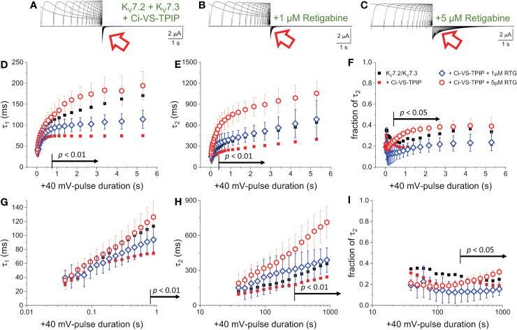 PI(4,5)P 2 regulates the action of Retigabine. (A–C) K + -currents were activated with a +40 mV pulses of variable duration in Xenopus oocytes expression K V 7.2/K V 7.3 channels. Subsequently, the currents were deactivated at −90 mV. These recordings were performed in the absence (A) and the presence of 1 µM (blue diamonds, n = 6) and 5 µM of Retigabine (red triangles, n = 7) (C) . (D–F) A two-exponential function was fitted to deactivating currents and the yielded τ 1 , τ 2 and the fractional contribution of the second component (fraction of τ 2 ) were plotted against t PULSE . ( D–F , respectively). (G–I) Semi-logarithmic version of the plot in (D–F) , detailing τ DEACT for t PULSE up to 1 second. For reference, the equivalent values from Figure 2 were plotted as small black square and small red circles. Black arrows in panels (D–I) indicate the range of t PULSE values at which values were statistically different between the recordings in the presence of 1 µM and 5 µM Retigabine.