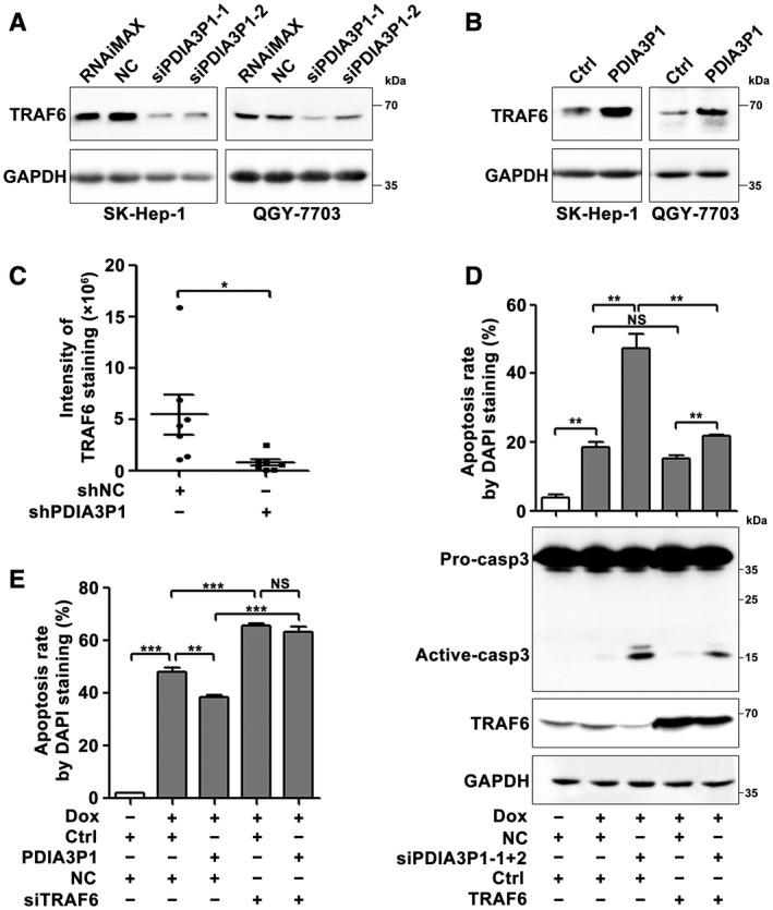 PDIA3P1 inhibits apoptosis by enhancing TRAF6 expression. (A) PDIA3P1 knockdown reduced the protein level of TRAF6. SK‐Hep‐1 or QGY‐7703 cells were transfected with the indicated RNA duplexes for 48 hours before immunoblotting. RNAiMAX indicates cells exposed to Lipofectamine RNAiMAX but not RNA duplexes. (B) Ectopic expression of PDIA3P1 increased the protein level of TRAF6. SK‐Hep‐1 or QGY‐7703 cells were transfected with pc3‐gab‐PDIA3P1 (PDIA3P1) or its control pc3‐gab (Ctrl) plasmid for 48 hours before western blotting. (C) The xenografts of shPDIA3P1 transfectants displayed lower levels of TRAF6. The intensity of TRAF6 immunohistochemical staining was analyzed. (D) Overexpression of TRAF6 abrogated the promotive effect of siPDIA3P1 on Dox‐induced apoptosis. SK‐TRAF6 and its control cell line SK‐Ctrl were transfected with NC or siPDIA3P1 for 24 hours and then treated with 0.25 μM Dox for 36 hours before DAPI staining or for 30 hours before immunoblotting. (E) Silencing of TRAF6 diminished the inhibitory role of PDIA3P1 on Dox‐induced apoptosis. SK‐PDIA3P1 and its control cell line SK‐Ctrl were transfected with NC or siTRAF6 for 24 hours and then treated with 1 μM Dox for 48 hours before DAPI staining. + or − indicates cells with (+) or without (−) the indicated treatment. For (A), (B), and (D), GAPDH was used as an internal control. For (C) and (D), data are expressed as the mean ± SEM of at least three independent experiments. * P