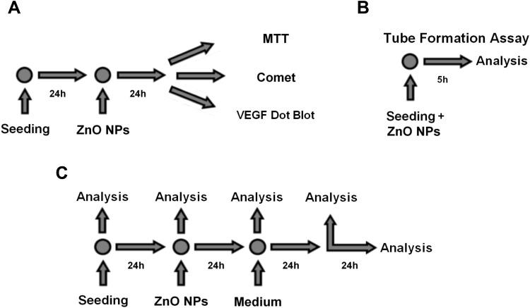 Experimental design of long-term exposure to ZnO NPs. Twenty-four hours after seeding, <t>HUVEC</t> were exposed to ZnO NPs for further 24 hrs. Then, MTT assay, comet assay and <t>VEGF</t> dot blot were performed ( A ). For the tube formation assay, HUVEC were seeded on Matrigel together with ZnO NPs and analyzed after 5 hrs ( B ). Analysis for the proliferation assay was performed at seeding, before treatment, after long-term treatment, 24 hrs after treatment and 48 hrs after treatment ( C ).