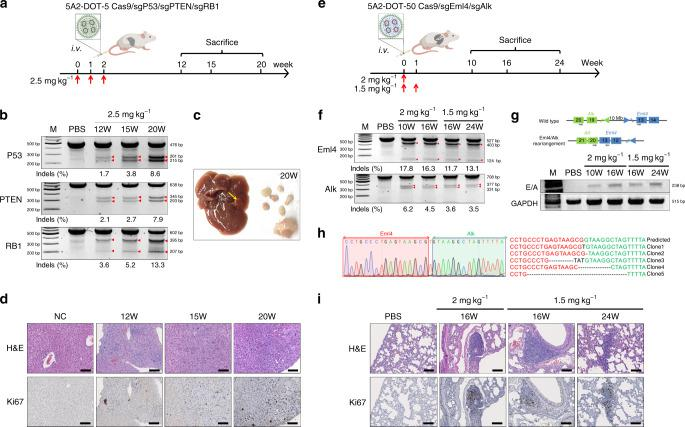 5A2-DOT-X LNPs simplify generation of complex mouse models. a To create an in situ liver-specific cancer model, 5A2-DOT-5 LNPs encapsulating Cas9/sgP53/sgPTEN/sgRB1 RNPs were injected into adult C57BL/6 mice weekly (three injections, 2.5 mg kg −1 total sgRNA, IV, n = 4). After 12, 15, and 20 weeks, mice were sacrificed and livers were collected to analyze tumor generation. b T7EI cleavage results from genomic DNA extracted from livers confirmed gene editing occurred at all three loci. Red arrows indicate cleavage bands. Indel percentages shown under gel images were measured by Sanger sequencing and TIDE analysis. c Representative photograph of a mouse liver containing tumors excised 20 weeks after injection. d H E and Ki67 staining further confirmed progressive tumor formation. Higher tumor proliferation biomarker Ki67 expression was detected in tumor lesions. Scale bar = 100 μm. e To create an in situ lung-specific cancer model, 5A2-DOT-50 LNPs encapsulating Cas9/sgEml4/sgAlk RNPs were injected into adult C57BL/6 mice once (2 mg kg −1 ) or twice (1.5 mg kg −1 weekly for 2 weeks) (IV, n = 5). After 10, 16, and 24 weeks, mice were sacrificed and lungs were collected to analyze tumor generation. f T7EI cleavage results from genomic DNA extracted from lungs confirmed gene editing occurred at loci of Eml4 and Alk . Red arrows indicate cleavage bands. Indel percentages shown under gel images were measured by Sanger sequencing and TIDE analysis. g PCR amplicons of Eml4-Alk rearrangements were also detected in all lungs treated with 5A2-DOT-50 LNPs. h Eml4-Alk rearrangements were further confirmed by sub-cloning and DNA sequencing. i H E and Ki67 staining further confirmed progressive tumor formation. Higher tumor proliferation biomarker Ki67 expression was detected in lung tumor lesions. Scale bar = 100 μm. Data of b , d , f , g , and i were repeated three times independently with similar results.