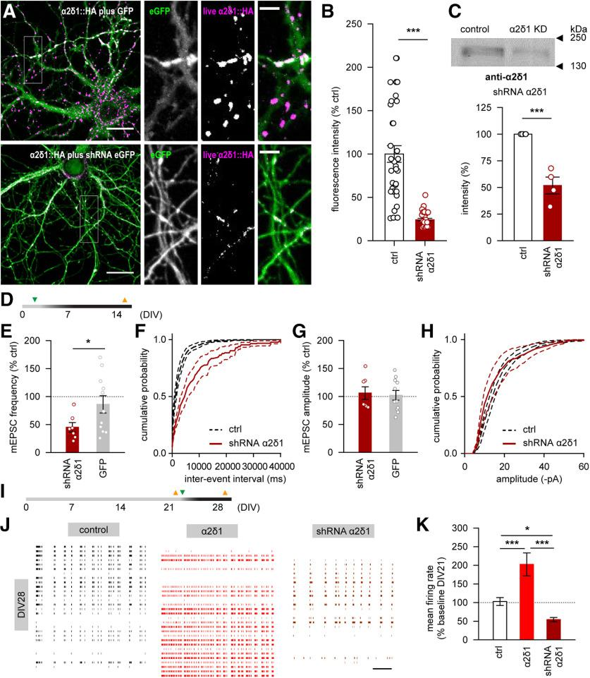 Downregulation of the α2δ1 subunit impairs the presynaptic release of glutamate and abolishes α2δ1 overexpression-driven enhancement of spontaneous neuronal firing. A , B , shRNA-induced knockdown of the α2δ1 subunit results in significant decrease of its surface expression and in corresponding decrease of the live HA fluorescence in rat hippocampal neurons. C , Western blot demonstrates a significant decrease in neuronal expression of the α2δ1 subunit on shRNA-triggered knockdown. D , A timeline of infection (green triangle) and electrophysiological recordings (orange triangles) shown in E–H . E , Downregulation of the α2δ1 subunit, but not the <t>GFP</t> expression, leads to significant reduction of the mean frequency of mEPSCs in rat hippocampal neurons. F , Cumulative distribution of interevent intervals for mEPSCs recorded under control conditions or on α2δ1 knockdown. G , The mean mEPSC amplitude is not affected by either α2δ1 knockdown, or by <t>lentiviral</t> expression of the GFP. H , Cumulative distribution of mEPSC amplitudes recorded under control conditions or on α2δ1 knockdown. I , A timeline of infection (green triangle) and multichannel recordings (orange triangles) shown in J , K . J , Representative traces of spontaneous neuronal firing in rat hippocampal cultures under control conditions (black), as well as after 1 week of either α2δ1 overexpression (red) or knockdown (brown). Thirty of 60 channels from each array are shown. Scale bar, 10 s. K , The shRNA-mediated knockdown of the α2δ1 subunit during the fourth week in vitro is associated with suppression of the spontaneous neuronal firing. * p