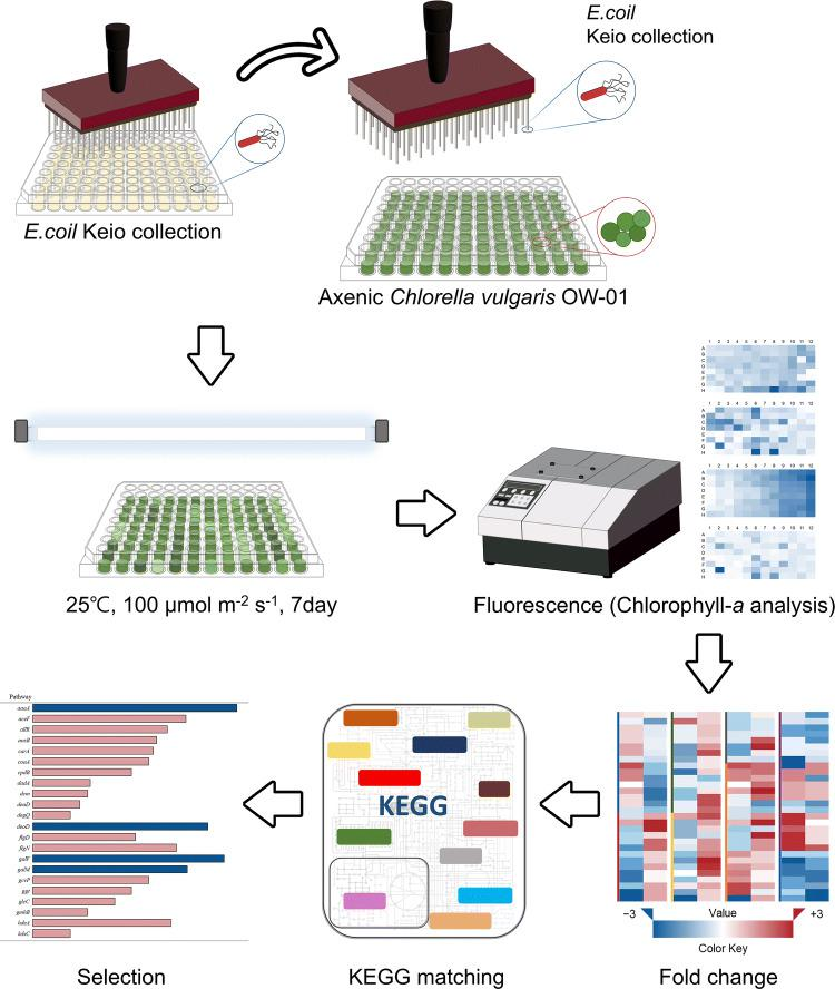 Schematic overview of the high-throughput screening (HTS) for the determination of the bacterial interactive metabolites using the  E. coli  K-12 Keio collection.