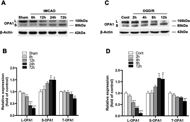 OPA1 cleavage in animal and cellular models of ischemia/reperfusion. (A, B) Representative immunoblots(A) and quantitative results of the levels of OPA1 (B) in the peri-ischemic cortex after tMCAO. n = 4. Data are expressed as mean ± SEM. One-way analysis of ANOVA with Bonferroni's post hoc test was used, * p