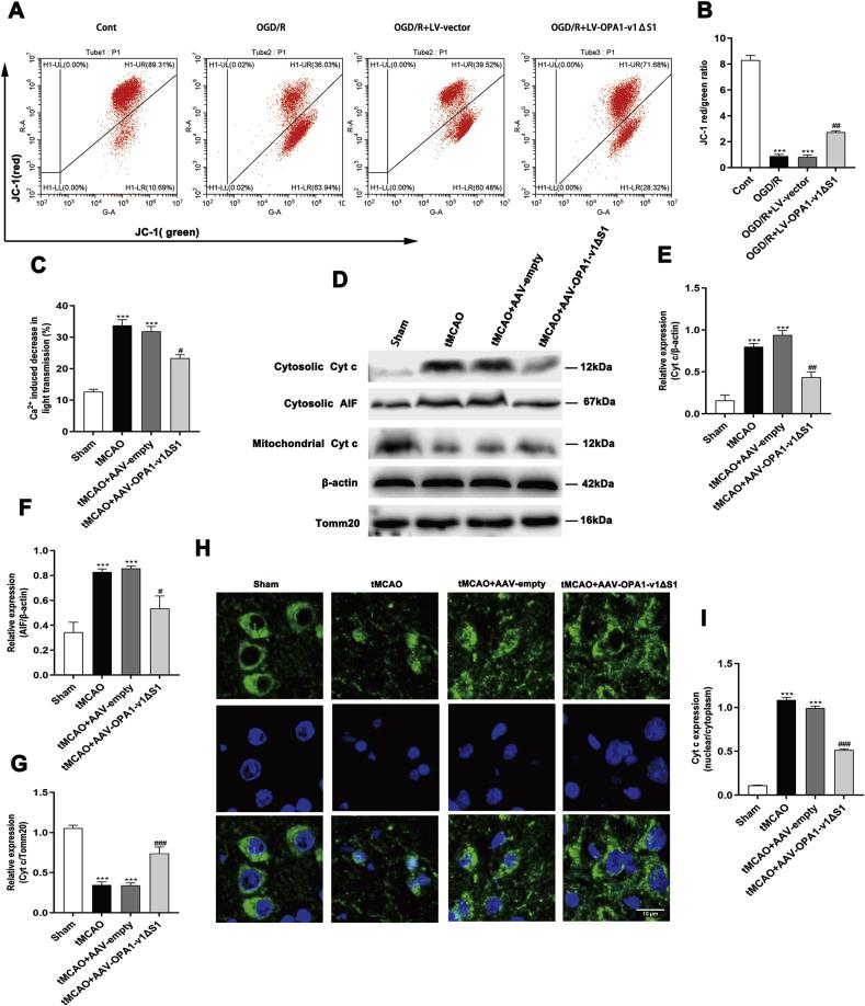 Expression of OPA1-v1 Δ S1 preserves mitochondrial integrity after cerebral ischemia/reperfusion injury in vivo and vitro. (A, B) Representative flow cytometric analysis of JC-1 expression(A) and quantitation results of JC-1 aggregates (red uorescence) compare to JC-1 monomers (green uorescence) (B) in cultured primary neurons of different experimental groups; n = 3. Data are expressed as mean ± SEM. One-way analysis of ANOVA with Bonferroni's post hoc test was used, *** p