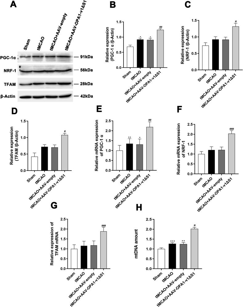 The promoted mitochondrial biogenesis after cerebral <t>ischemia/reperfusion</t> injury in vivo by OPA1-v1 Δ S1 expression. (A–D) Representative immunoblots(A) and quantitative results of the levels of PGC-1α(B), NRF-1(C) and TFAM(D) in the cortex of different experimental groups; n = 4. Data are expressed as mean ± SEM. One-way analysis of ANOVA with Bonferroni's post hoc test was used, * p