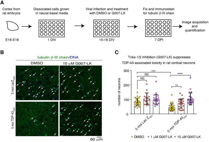 Tnks-1/2 inhibitor G007-LK reduces TDP-43-associated loss of rat primary cortical neurons. (A) Cortical neurons isolated from Sprague Dawley embryos (E16-E18) were seeded in 24-well plate format at a density of 100,000 neurons. After 15-18 days in vitro (DIV) neurons were virally infected with either HSV-LacZ or HSV-TDP-43 and treated with DMSO or G007-LK. Neurons were fixed and immunostained at 7 days post infection (DPI). See Fig. S2 for expanded images. (B) Neurons were immunolabeled for the neuronal marker tubulin β-III chain (green) and counterstained with Hoechst 33342 (blue). Arrows indicate neurons. (C) Viral infection with HSV-TDP-43 at 5 moi resulted in significant loss in cortical neurons compared with the HSV-LacZ control. Co-treatment with G007-LK (at 1 and 10 µM) significantly suppressed TDP-43-associated neuronal loss. Graph shows individual data points and the mean±s.d. from the same pregnant female analyzed by one-way ANOVA ( P