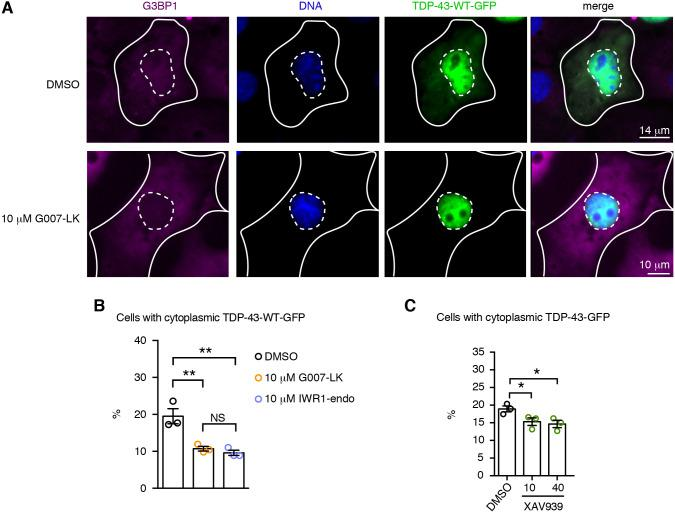 Tnks-1/2 inhibition promotes nuclear localization of TDP-43. (A) Treatment with Tnks-1/2 inhibitor G007-LK (10 µM) reduced cytoplasmic accumulation of TDP-43-WT-GFP. Cells were immunostained for the cytoplasmic protein G3BP1 (magenta) and counterstained with Hoechst 33342 (blue). Inner dashed line marks the nuclear boundary and outer solid line marks the cytoplasmic boundary. (B) Treatment of cells with Tnks-1/2 inhibitors G007-LK and IWR1-endo led to a significant reduction in the percentage of cells with cytoplasmic TDP-43-GFP. The percentage of cells with cytoplasmic TDP-43-GFP showing a diffuse GFP signal or GFP-positive puncta was quantified. Mean±s.e.m. of three independent experiments. One-way ANOVA ( P =0.0032) and a Tukey's tests. (C) Treatment with the Tnks-1/2 inhibitor XAV939 led to a significant reduction in the percentage of cells with cytoplasmic TDP-43-GFP. Mean±s.e.m. of three independent experiments. One-way ANOVA ( P