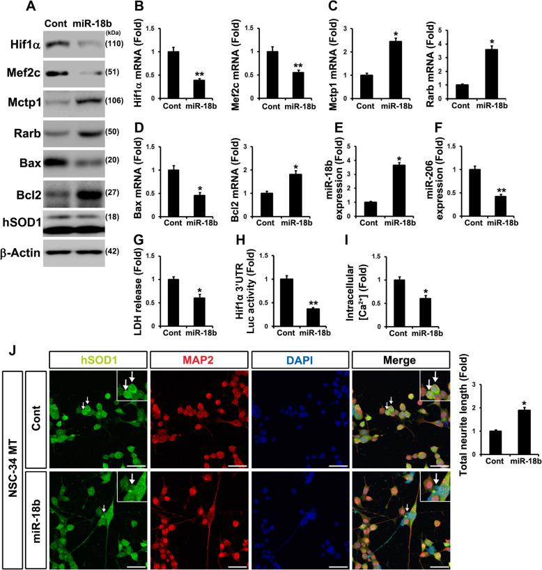 miR-18b (miR-18b-5p) regulates Hif1α and reduces apoptosis in mtNSC-34 cells. a Overexpressed miR-18b (miR-18b-5p) decreased Hif1α and Mef2c proteins. Both Mctp1 and Rarb expression were increased by miR-18b (miR-18b-5p). Downregulated Bax and upregulated Bcl2 by miR-18b (miR-18b-5p) diminished apoptosis in mtNSC-34 cells. b RT-qPCR analysis showed low expression of Hif1α and Mef2c mRNAs. c Mctp1 and Rarb transcripts were highly expressed by miR-18b (miR-18b-5p). d Bax mRNAs were decreased and Bcl2 mRNAs were increased by overexpressed miR-18b. e miR-18b (miR-18b-5p) was overexpressed in mtNSC-34 cells. f miR-206 was reduced by miR-18b (miR-18b-5p). g LDH release analysis explained that transfected miR-18b (miR-18b-5p) restores apoptosis. h Luciferases assay with 3′ UTR of Hif1α showed that Hif1α is target of miR-18b in contNSC-34 cells. i and j Overexpression of miR-18b (miR-18b-5p) enhanced neuronal differentiation (MAP2) and attenuated intracellular Ca 2+ levels (Cont (0.098) versus miR-18b (miR-18b-5p) (0.051) in fluorescence intensities from baseline 490/525 ratio) in mtNSC-34 cells. Empty vector served as a negative control (Cont). Arrow represents SOD1 aggregation (green). Scale bar, 40 μm. Significantly different at *, p