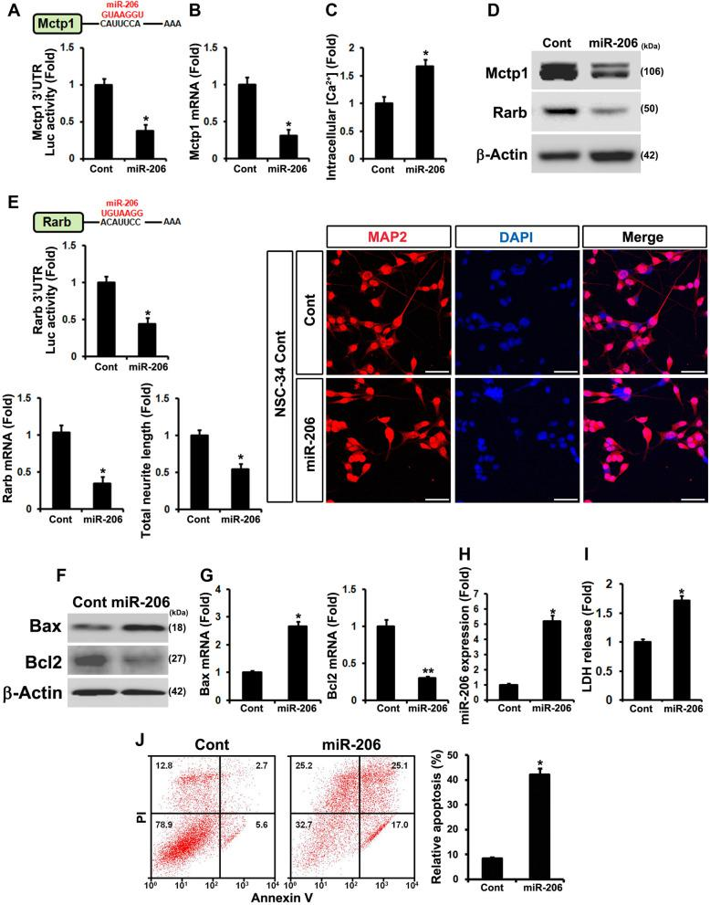 miR-206 post-transcriptionally regulates Mctp1 and Rarb and elevates apoptotic cell death. a and b Luciferases assay with 3′ UTR of Mctp1 showed that Mctp1 is target of miR-206. Mctp1 transcripts was downregulated by increased miR-206. c Intracellular Ca 2+ levels (Cont (0.069) versus miR-206 (0.122) in fluorescence intensities from baseline 490/525 ratio) was enhanced by miR-206. d miR-206 controlled Mctp1 and Rarb protein expression. e Luciferase assay with 3′ UTR of Rarb also verified that Rarb is target of miR-206. Rarb mRNAs was decreased by miR-206. Neuronal cell differentiation (MAP2) was reduced by miR-206. Scale bar, 40 μm. f and g Both Bax protein and mRNAs were increased by miR-206. Bcl2 proteins and mRNAs were decreased by miR-206. h miR-206 was overexpressed in contNSC-34 cells. i ) LDH release assay showed that miR-206 enhances apoptosis. j Flow cytometry analysis explained that overexpressed miR-206 activates apoptotic cell death in mouse NSCs. Empty vector served as a negative control (Cont). Significantly different at *, p