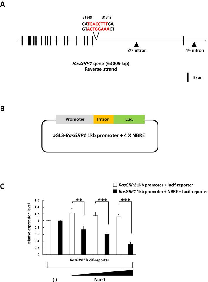 Nurr1 repressed the transcriptional activity of the  RasGRP1  gene. ( A ) Schematic representation of the mouse  RasGRP1  gene, indicating the position of NBRE in the  RasGRP1  intron. The second intron region in the  RasGRP1  gene contains the NBRE (AAAGGTCA) sequence. The  black boxes  represent the exons. ( B ) Schematic diagram of the luciferase reporter construct used in the assays. ( C ) 293T cells were transfected with either the reporter plasmid alone (250ng) or a combination of different amounts of the Nurr1 expression vector (50, 100, or 250ng) using Lipofectamine 2000. After 24h of transfection, the cells were harvested and lysed, and the luciferase activity was quantified with the dual-luciferase assay system.  Renilla  activity was used for normalization. This experiment was repeated three times using independently prepared cell lysates. Statistical analysis was performed using Student's t-test (mean±SD; n=3; **P