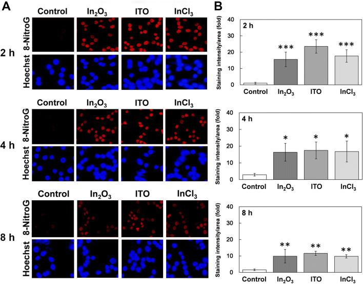 """Time course of 8-nitroG formation in indium-treated A549 cells. ( A ) Fluorescent images of indium-treated A549 cells at different incubation times. A549 cells were treated with 200 ng/ml of In 2 O 3 , ITO and InCl 3 at 37 °C for indicated durations. 8-NitroG was detected by immunocytochemistry as described in """" Methods """" section. The nucleus was stained with Hoechst 33258. Magnification, × 200. ( B ) Quantitative image analysis of 8-nitroG formation in indium-treated A549 cells. Staining intensities of 8-nitroG per area were analyzed with an ImageJ software. The relative intensity of the control at 2 h was set at 1. The data were expressed as means ± SD of 3–4 independent experiments. * p"""